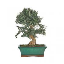 Sélection bonsaïs - Bonsaï Olivier sauvage 10 ans Olea Europaea