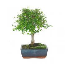 Mistral Bonsai - Bonsaï Orme 5 ans Zelkova parvifolia
