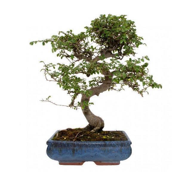 Sélection bonsaïs - Bonsaï Orme 10 ans Zelkova parvifolia