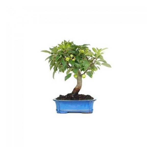 Sélection bonsaïs - Bonsaï Pommier Malus sp. 16 ans