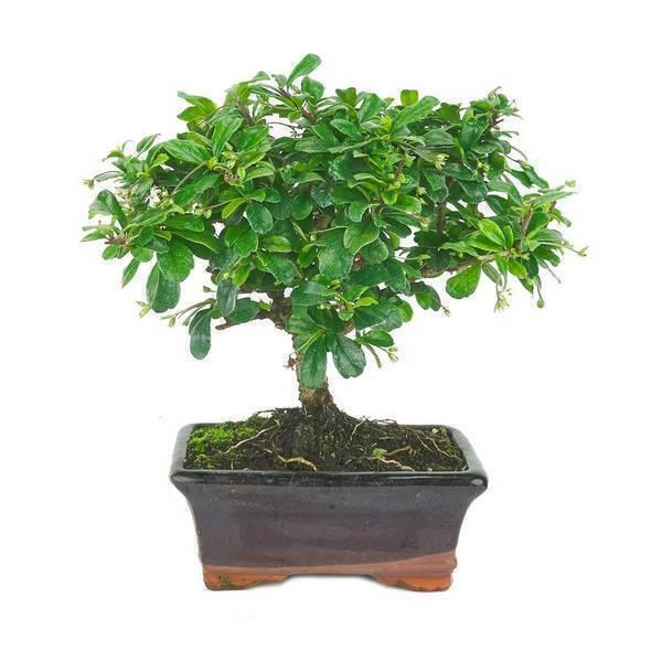 Mistral Bonsai - Bonsaï Carmona microphylla 5 ans