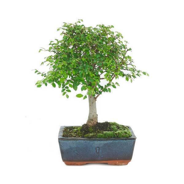 Sélection bonsaïs - Bonsaï Orme 5 ans Zelkova parvifolia