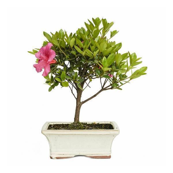 Sélection bonsaïs - Bonsaï Azalée 6 ans Rhododendron indicum