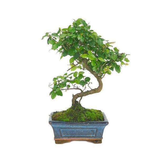Mistral Bonsai - Bonsaï Prunier chinois 6 ans Sageretia theezans