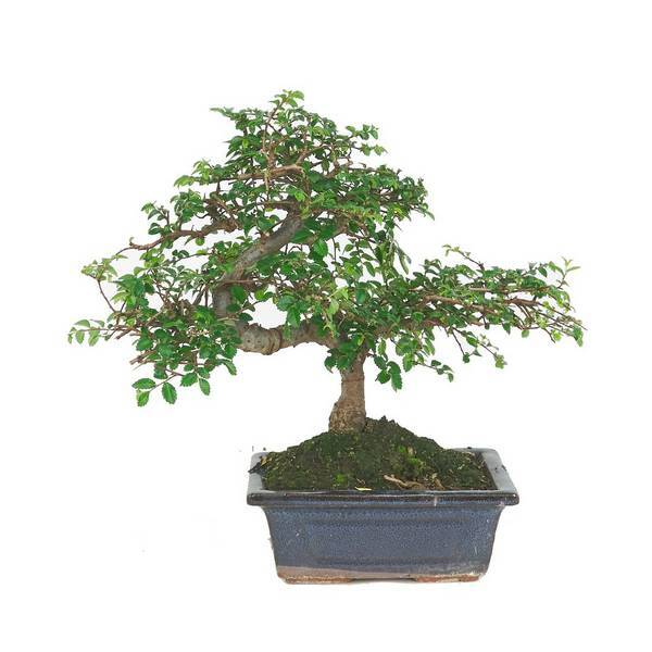 Sélection bonsaïs - Bonsaï Orme 6 ans Zelkova parvifolia