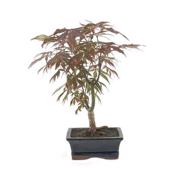 Mistral Bonsai - Bonsaï Erable 7 ans Acer Palmatum Atropurpureum