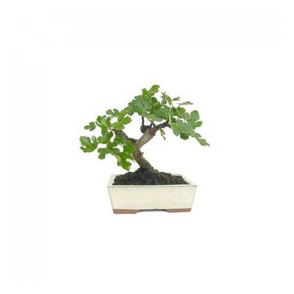 Mistral Bonsai - Bonsaï Figuier 8 ans Ficus carica