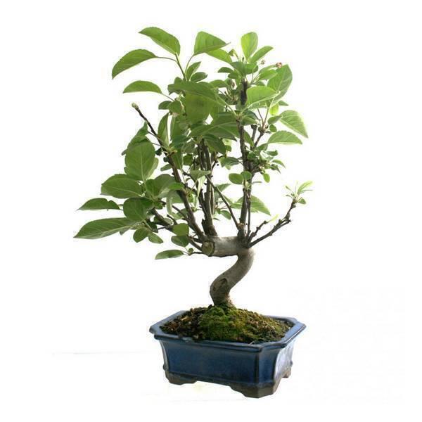 Sélection bonsaïs - Bonsaï Pommier Malus sp. 8 ans