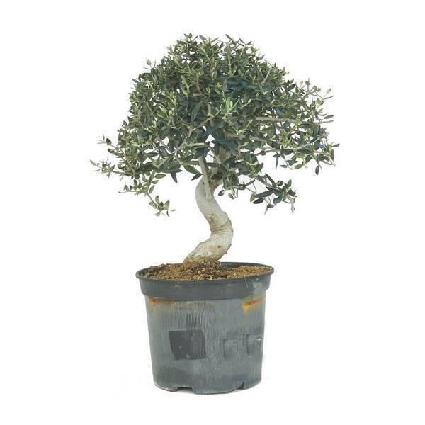 Sélection bonsaïs - Bonsaï Olivier sauvage 9 ans Olea europaea