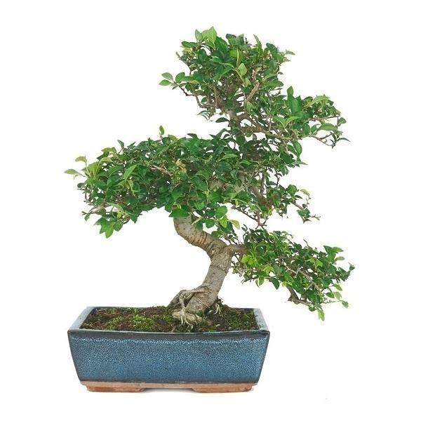 Mistral Bonsai - Bonsaï Orme 8 ans Zelkova parvifolia
