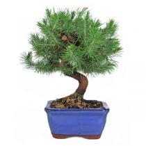Sélection bonsaïs - Bonsaï Pin d'Alep Pinus halepensis 8 ans