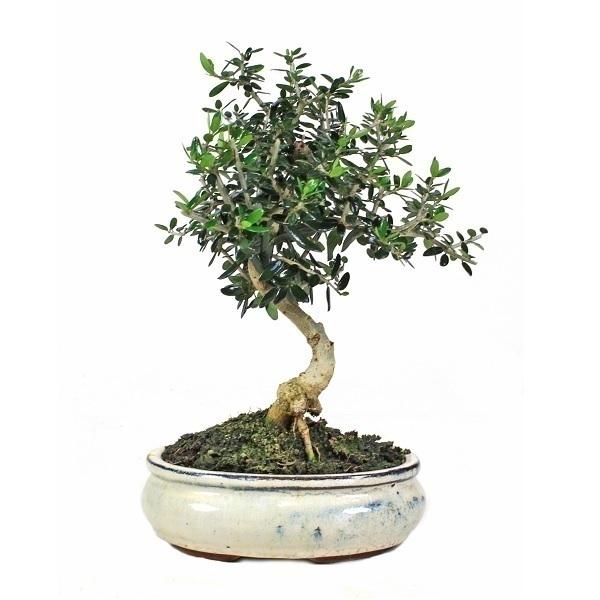 Sélection bonsaïs - Bonsaï Olivier Olea europaea sylvestris 7 ans