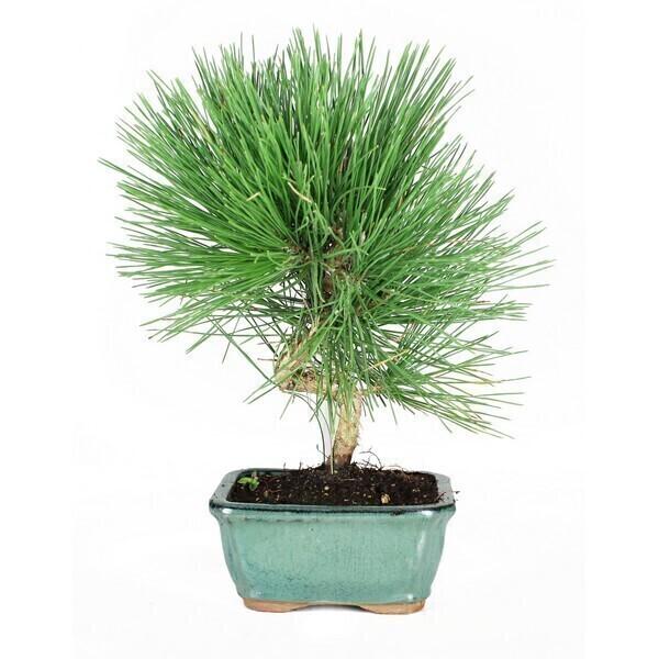 Sélection bonsaïs - Bonsaï Pin noir du Japon Pinus thunbergii 8 ans