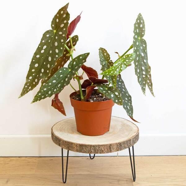 Réconciliation Végétale - Plante d'interieur : Begonia Maculata sans cache-pot