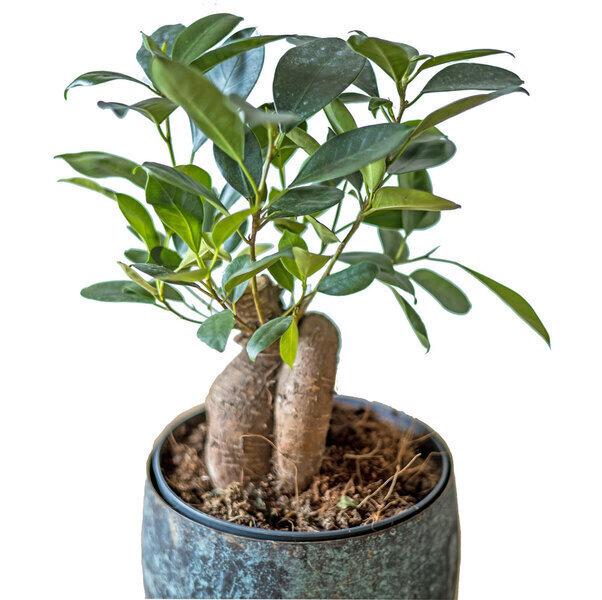 Réconciliation Végétale - Plante d'interieur ficus microcarpia ginseng