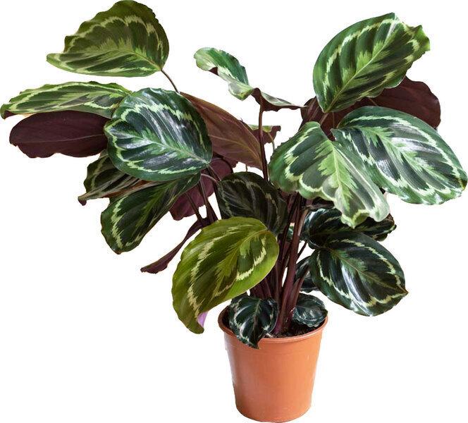 Réconciliation Végétale - Plante d'interieur : Calathea Medaillon sans cache-pot