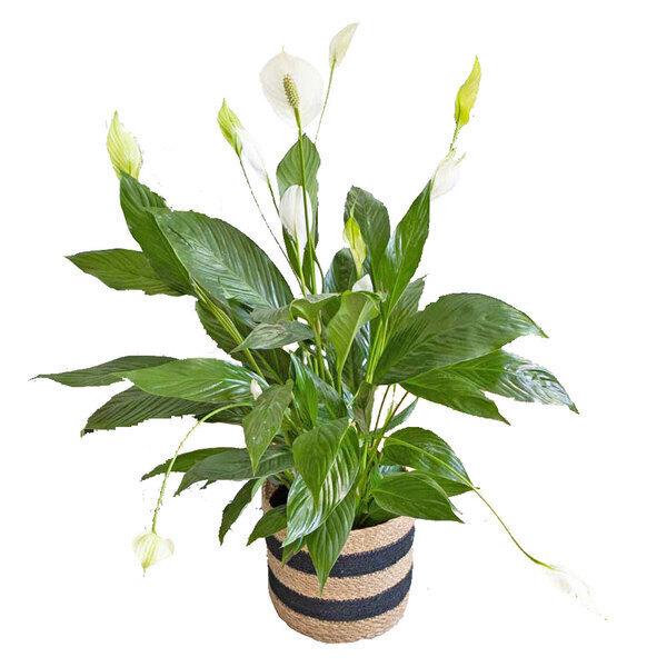 Réconciliation Végétale - Plante d'interieur : Sapthiphyllum fleur de lune avec cache-Pot