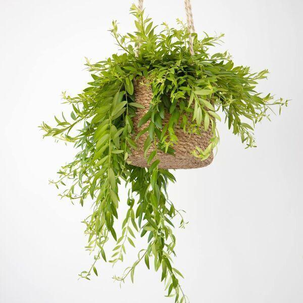 Réconciliation Végétale - Plante d'interieur : aeschynanthus sans cache-pot