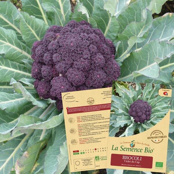 La Semence Bio - BROCOLI violet du Cap Bio