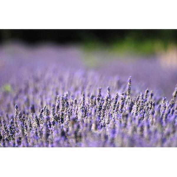 Les Bouquets du Ventoux - Infusion lavande fine