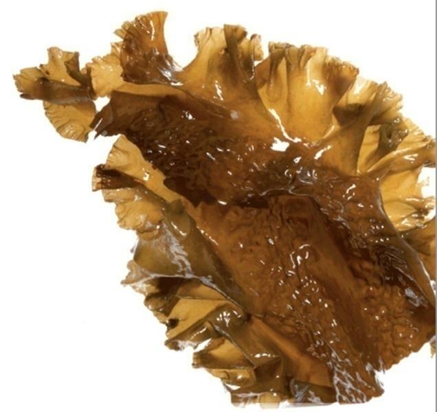 Bretalg - Algue kombu royal fraîche 1 kg